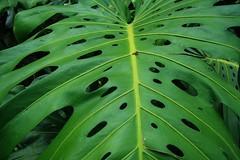 Leaf Got Hole