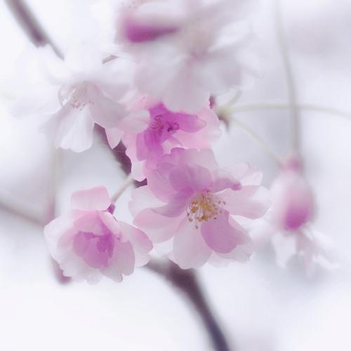 pink japan japanese tokyo nikon shinjuku blossom 桜 cherryblossom 日本 sakura nippon 東京 新宿 hanami 櫻 さくら サクラ sakuranbo nationalflower ajpscs theunforgettablepictures