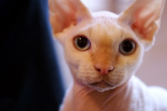 kitten(0.0), abyssinian(0.0), singapura(0.0), tonkinese(0.0), burmese(0.0), nose(1.0), animal(1.0), peterbald(1.0), small to medium-sized cats(1.0), pet(1.0), snout(1.0), macro photography(1.0), close-up(1.0), cat(1.0), carnivoran(1.0), whiskers(1.0), devon rex(1.0),