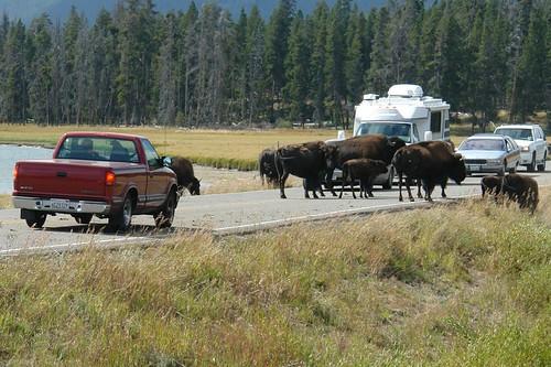 Cruce de Bisontes (Entrada Este) parque nacional yellowstone - 2515140223 0d894521b8 - Parque Nacional Yellowstone, cómo visitarlo en dos días