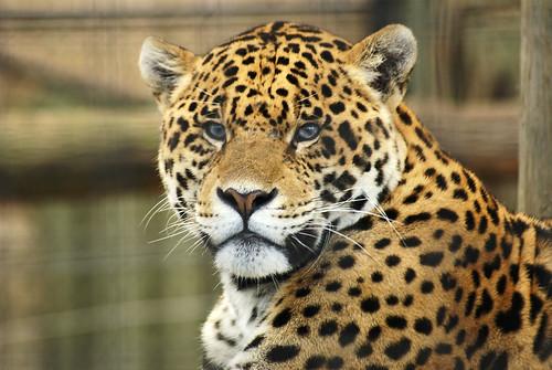 fiche signal tique du jaguar maine coon and friends. Black Bedroom Furniture Sets. Home Design Ideas