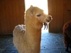 camel(0.0), arabian camel(0.0), alpaca(1.0), animal(1.0), llama(1.0), fauna(1.0), camel-like mammal(1.0),