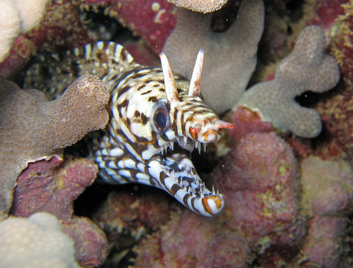Dragon Moray at Kewalo Pipe