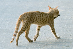 pet(0.0), lynx(0.0), animal(1.0), bengal(1.0), small to medium-sized cats(1.0), savannah(1.0), mammal(1.0), fauna(1.0), cat(1.0), rusty-spotted cat(1.0), wild cat(1.0), bobcat(1.0), ocicat(1.0),