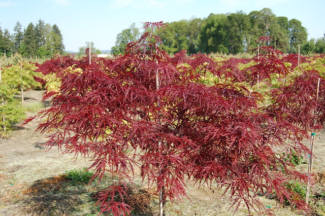 Red Dragon Japanese Maple Acer Palmatum Atropurpurea