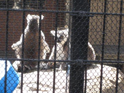 Sunning lemurs
