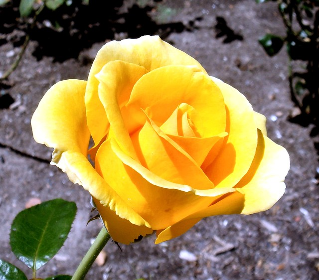 Yellow Rose, Cape Town, South Africa