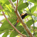 Saíra-amarela macho (Tangara cayana), Vale da Neblina-PB, Brasil. by Vale da Neblina