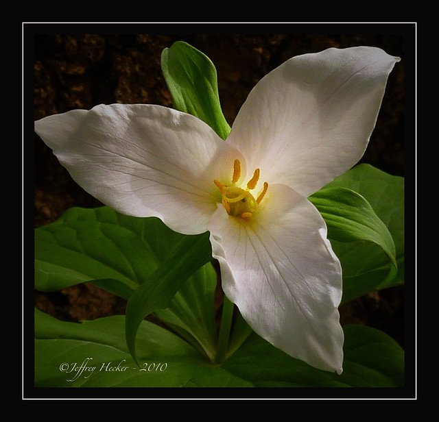 Hey Jeff! Enough with the Trilliums