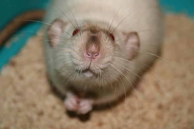 Mom I am a good rattie >^^<