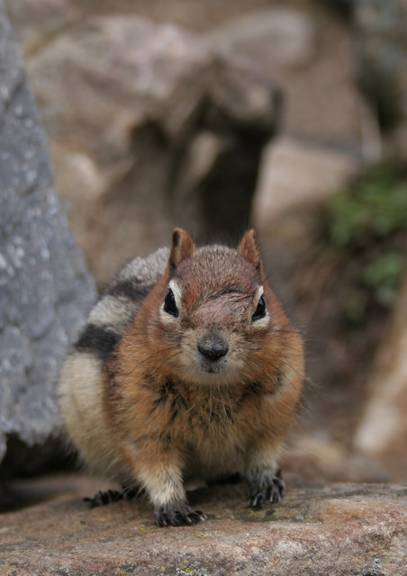 Fat Little Rascal - Banff National Park - Canadian Rockies - Canada