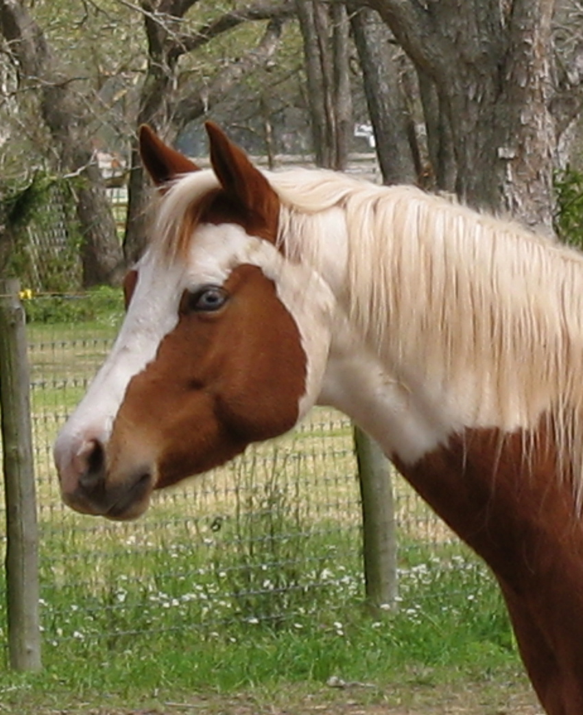 Pinto Horse Pinto Horse Pictures Images