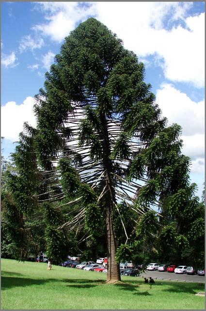 Bunya pine.  Австралийская