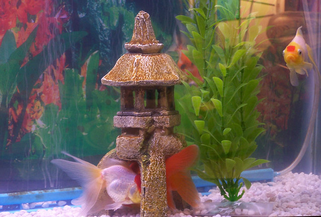 Sleeping goldfish flickr photo sharing for Aquarium decoration for goldfish