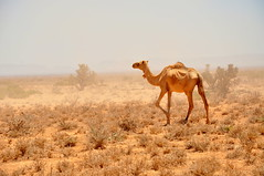 animal, steppe, plain, mammal, fauna, natural environment, landscape, camel, arabian camel, savanna, grassland, safari, wildlife,