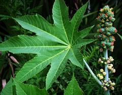 Castor Oil Plant: FLOWER  (Bangla = ভেরেন্ডা )