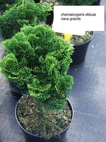 chamaecyparis obtusa nana gracilis flickr photo sharing. Black Bedroom Furniture Sets. Home Design Ideas