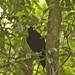 187 Birds-of-paradise