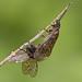 Alderflies Mating