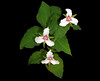 painted trillium - Photo (c) sandy richard, some rights reserved (CC BY-NC-SA)