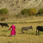 Pamiri Woman in the Fields - Wakhan Valley, Tajikistan