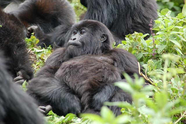 Comunidad de gorilas de montaña en el Parque Nacional de los Volcanes. Ruanda.