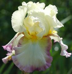 Tall Bearded Iris - Kiss of Kisses