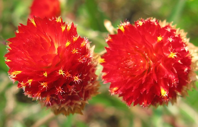 Strawberry Fields / Gomphrena haageana / 黄花千日紅(キバナセンニチコウ)