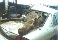 moose_car_experience_1