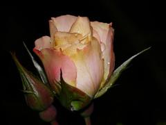 Birthday Girl Rose