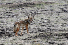czechoslovakian wolfdog(0.0), wolfdog(0.0), dhole(0.0), saarloos wolfdog(0.0), kit fox(0.0), animal(1.0), red wolf(1.0), mammal(1.0), jackal(1.0), fauna(1.0), coyote(1.0), wildlife(1.0),