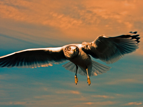 birds newjersey wildlife seagull soe waterbirds webbedfeet themoulinrouge canonef28135mmis abigfave platinumphoto canoneos40d canon40d