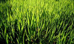 food(0.0), lawn(0.0), plant stem(0.0), agriculture(1.0), field(1.0), grass(1.0), plant(1.0), wheatgrass(1.0), green(1.0), paddy field(1.0), crop(1.0), meadow(1.0), grassland(1.0),