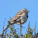 <p>I was a little surprised to come across this handsome sparrow at Sibley Volcanic Regional Park.  It was fairly cooperative as a photographic subject.</p>