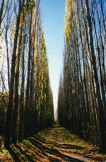 Poplars in autumn ...