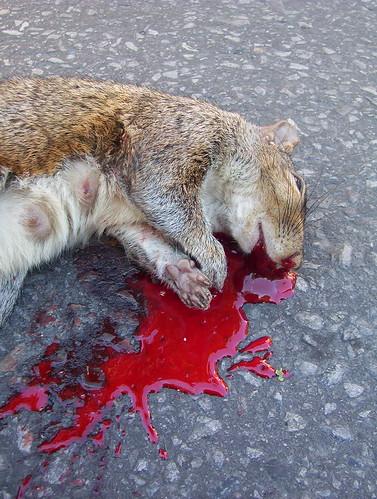 Dead Squirrel Roadkill Cureuil Cras Ardilla Atropellada
