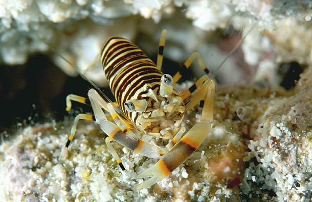 bumble-bee-shrimp Flickr - Photo Sharing!