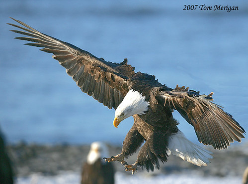 Adult Bald Eagle lands