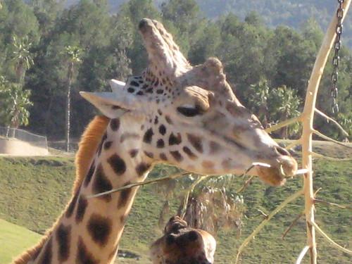 Giraffe deepthroating a stick