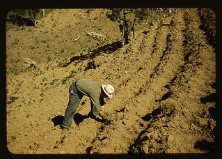 FSA borrower and member of Yauco tomato cooperative, planting tomatoes on his farm in the hills, vicinity of Yauco, Puerto Rico (LOC)