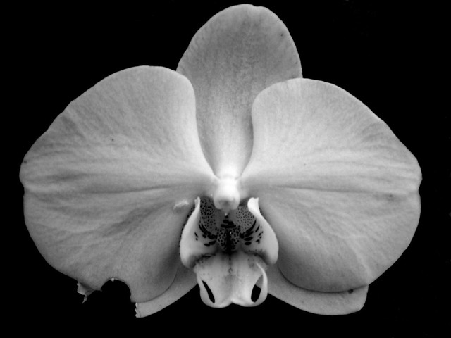painted black and white orchid | Flickr - Photo Sharing!