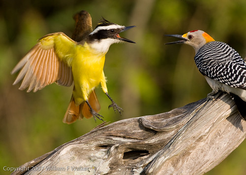 Great Kiskadee versus Golden-fronted Woodpecker