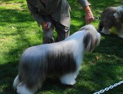 tibetan terrier(0.0), collie(0.0), dog breed(1.0), animal(1.0), dog(1.0), pet(1.0), lã¶wchen(1.0), polish lowland sheepdog(1.0), vulnerable native breeds(1.0), havanese(1.0), lhasa apso(1.0), old english sheepdog(1.0), carnivoran(1.0),