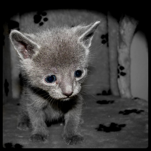 old Russian Blue baby.