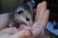 common opossum(0.0), mouse(0.0), hamster(0.0), nose(1.0), animal(1.0), opossum(1.0), virginia opossum(1.0), rodent(1.0), pet(1.0), muridae(1.0), fauna(1.0), muroidea(1.0), dormouse(1.0), whiskers(1.0),