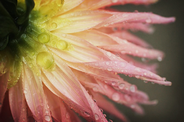 Pink Dahlia with Droplets