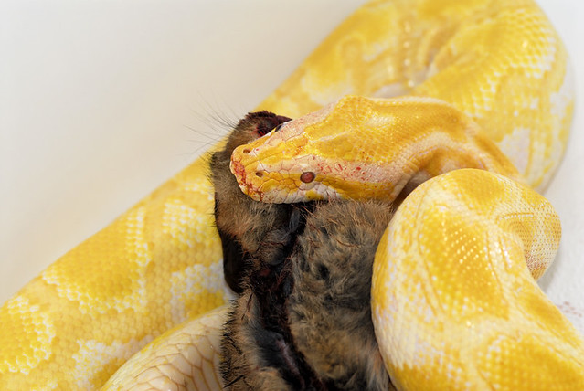 Albino Burmese Python - Feeding Time | Flickr - Photo Sharing!