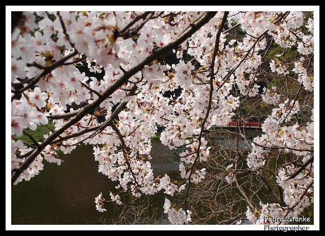 Japonese garden Sakura, Kameyama, Japan
