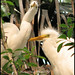 Baby Great Egrets by Austie1