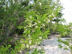 3769 Flowering Tree